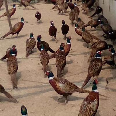天津宝坻区野山鸡 2-3斤