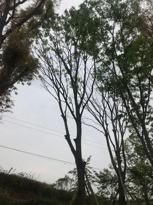 四川省成都市温江区沙朴