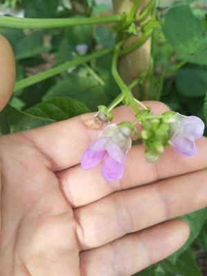 四川省攀枝花市米易县紫花四季豆 10cm以上