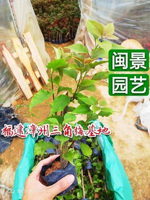 福建省漳州市龙海市同安红三角梅 0.2~0.5米