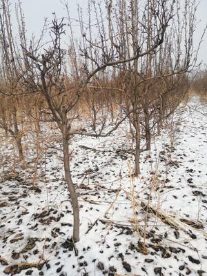这是一张关于秋月梨树苗 2.5~3米 的产品图片