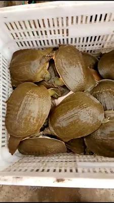 这是一张关于黄河鳖 的产品图片