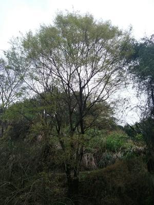 广东省梅州市兴宁市丛生朴树