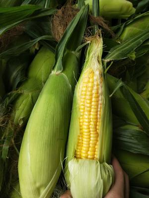 这是一张关于甜玉米 带壳 甜 的产品图片