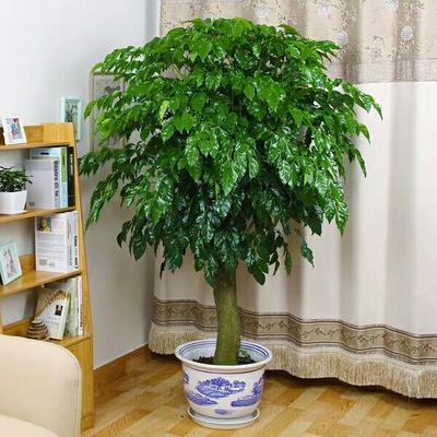 这是一张关于幸福树盆栽 的产品图片