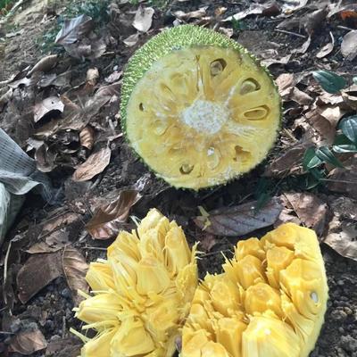 这是一张关于海南菠萝蜜 10斤以下 的产品图片