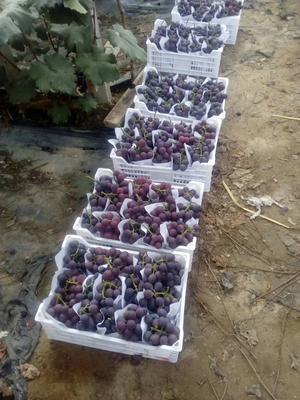 这是一张关于巨峰葡萄 0.4-0.6斤 5%以下 1次果 的产品图片