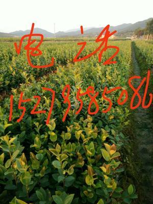 江西省宜春市丰城市油茶苗