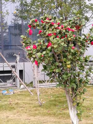 广西壮族自治区钦州市灵山县茶花树 80~100cm