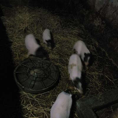 这是一张关于巴马香猪 20-25斤 的产品图片
