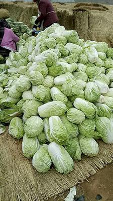 陕西省渭南市临渭区青杂三号白菜 3~6斤 净菜