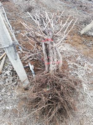 这是一张关于贝达葡萄树 的产品图片