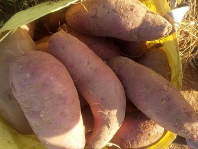 山东省日照市东港区红心红薯 混装通货 红皮 各类地瓜出售