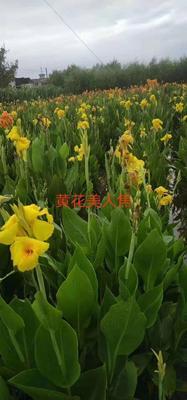 浙江省杭州市萧山区黄花美人蕉 2cm以下 0.5~1米