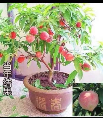 山东省泰安市岱岳区果树盆景