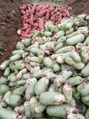 河南省驻马店市确山县红皮萝卜 1~1.5斤