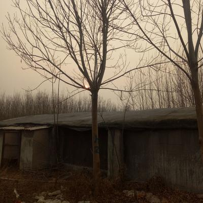 山东省菏泽市郓城县老式白蜡 5米以上