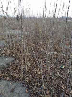 这是一张关于八棱海棠 的产品图片