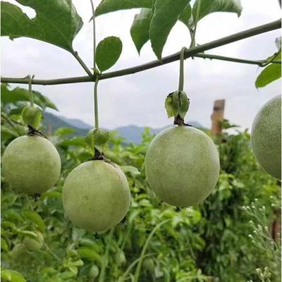 广西壮族自治区玉林市容县紫香一号百香果 60 - 70克