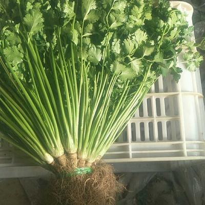 山东省青岛市莱西市大叶香菜 25~30cm