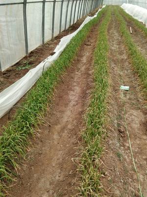 山东省泰安市新泰市红根蒜苗 40cm以下