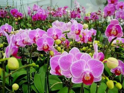 这是一张关于蝴蝶兰 带盆栽好 的产品图片