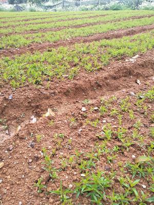 这是一张关于毛桃苗 0.5米以下 的产品图片