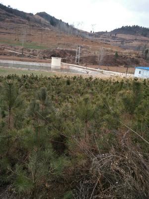 甘肃省陇南市两当县旱地油松