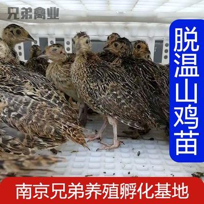 江苏省南京市江宁区七彩山鸡 1斤以下