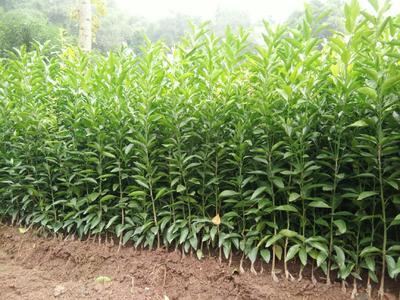 这是一张关于沃柑苗 嫁接苗 0.2~0.35米 的产品图片