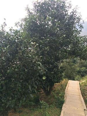 云南省临沧市临翔区大树茶 散装 一级