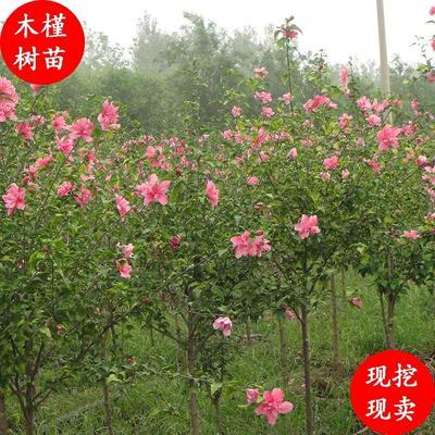 江苏省宿迁市沭阳县红花木槿树