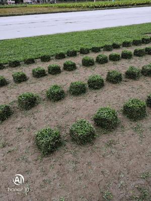 这是一张关于大叶油草 的产品图片