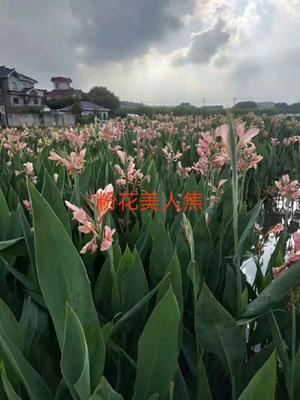 浙江省杭州市萧山区粉美人蕉 2~4cm 0.5~1米