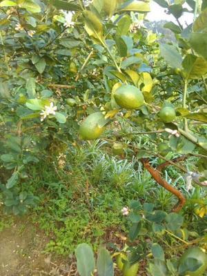 广东省广州市白云区沙田柠檬 2 - 2.6两