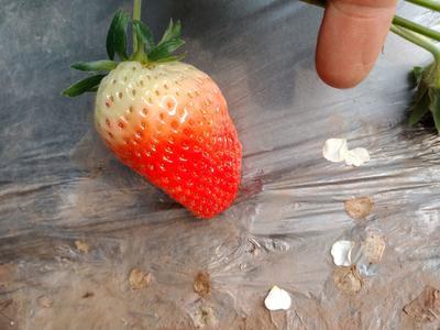 山东省潍坊市安丘市奶油草莓  山东大奶莓草莓