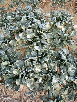 山东省菏泽市牡丹区圆叶菠菜 10cm以下