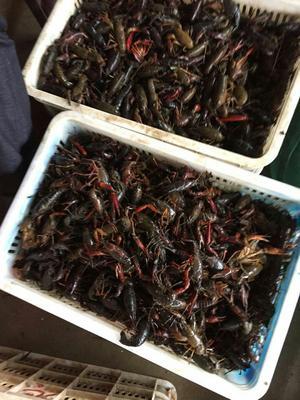 这是一张关于清水小龙虾 4-6钱 塘虾 的产品图片