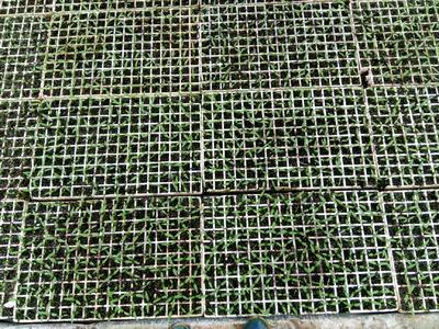 这是一张关于线椒苗 8~10片真叶 的产品图片
