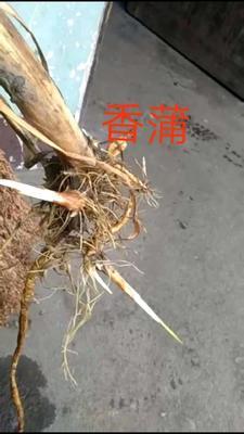 浙江省杭州市萧山区小香蒲