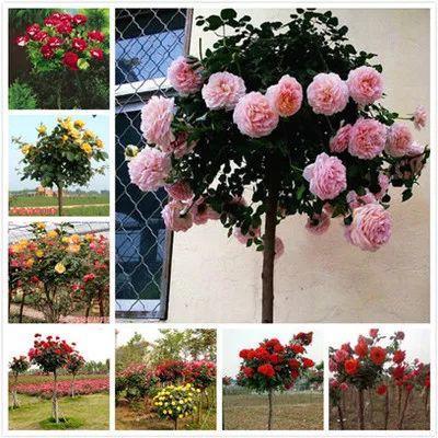 这是一张关于树状月季 的产品图片