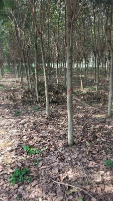 广西壮族自治区柳州市柳城县宫粉紫荆树