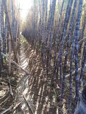 广东省广州市南沙区黑皮甘蔗 4 - 5cm 2 - 2.5m