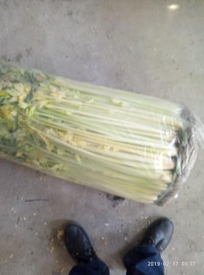 山东省青岛市平度市黄金芹菜 60cm以上 0.5~1.0斤 露天种植