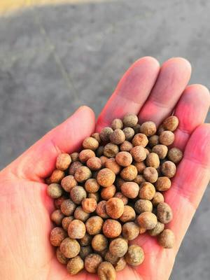 天津武清区麻豌豆 5-7cm