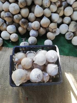 海南省海南省文昌市椰青  1.5 - 2斤 ,18个一箱