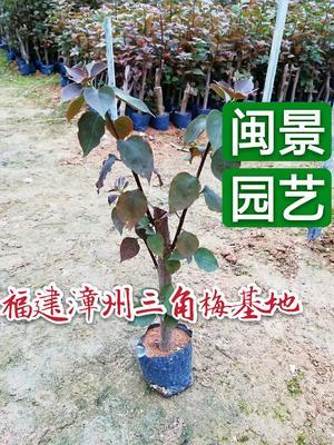 福建省漳州市龙海市潮州红三角梅  0.2~0.5米 福建漳州