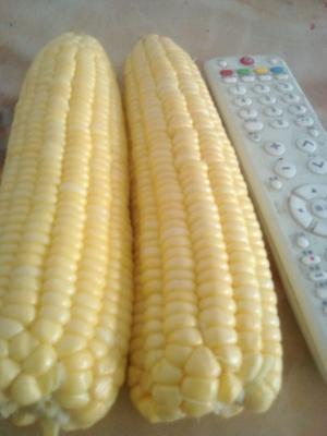 云南省楚雄彝族自治州元谋县正甜68玉米 带壳 甜