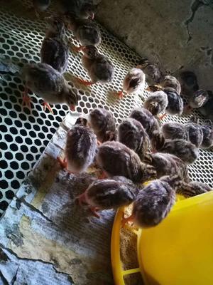 这是一张关于珍珠鸡苗 的产品图片