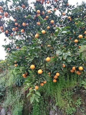 这是一张关于夏橙 65 - 70mm 4-8两 的产品图片